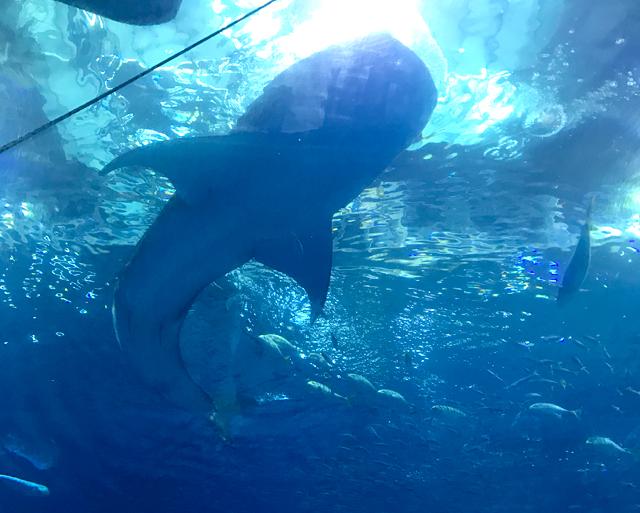 美ら海水族館ジンベイザメ真下から