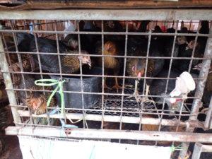クローントゥーイ市場の鶏