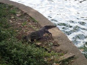 ルンピニー公園のミズトカゲ